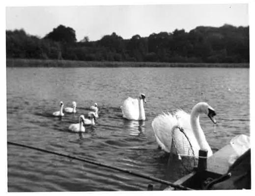 oldies swans