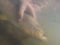 Trout release Tomas Dudonis